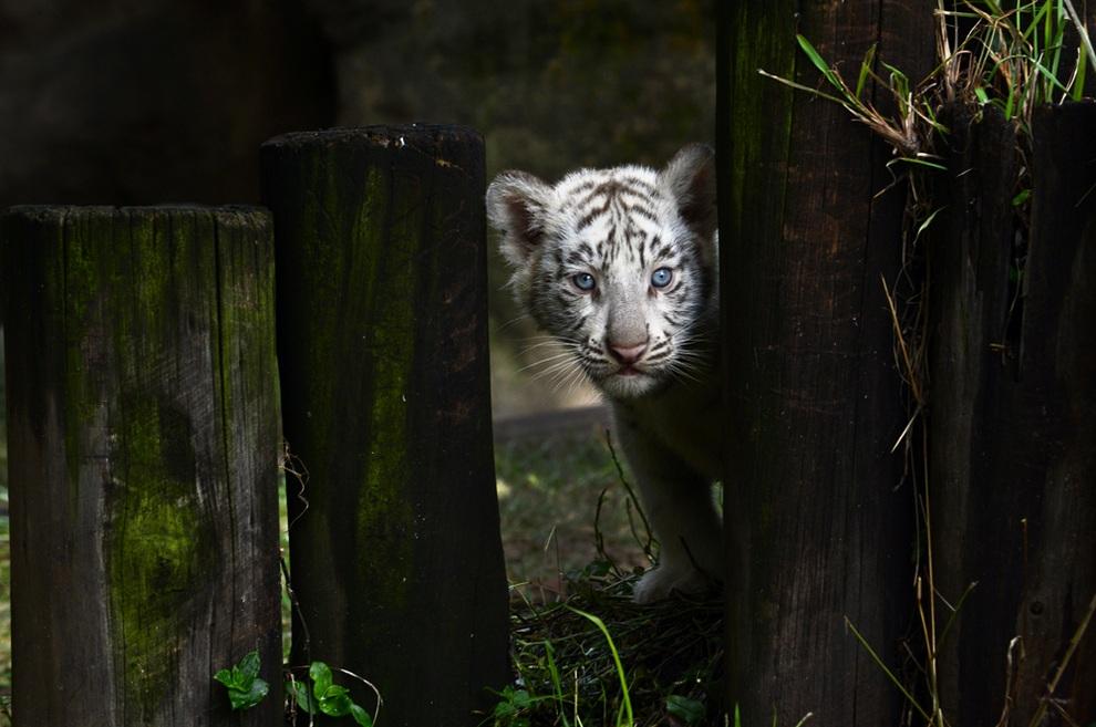 В зоопарке Буэнос-Айреса представили выводок белых тигров (3 фото + видео)