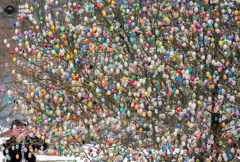 Фолькер Крафт вешает одно из последних яиц на ветку «пасхального дерева», Заальфельд, земля Тюрингия, Германия. (AFP/Getty Images)