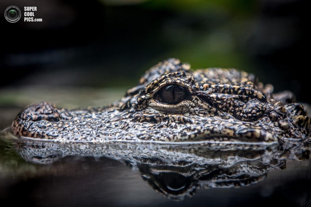 Китайский аллигатор среди обитателей зоопарка «Речное сафари» в Сингапуре. На планете осталось менее 200 особей этого вида. (Chris McGrath/Getty Images)