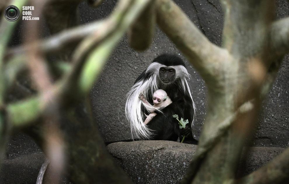 5-летний ангольский колобус по кличке Оливия со своим белесым чадом, Брукфилд, штат Иллинойс, США. (Scott Olson/Getty Images)