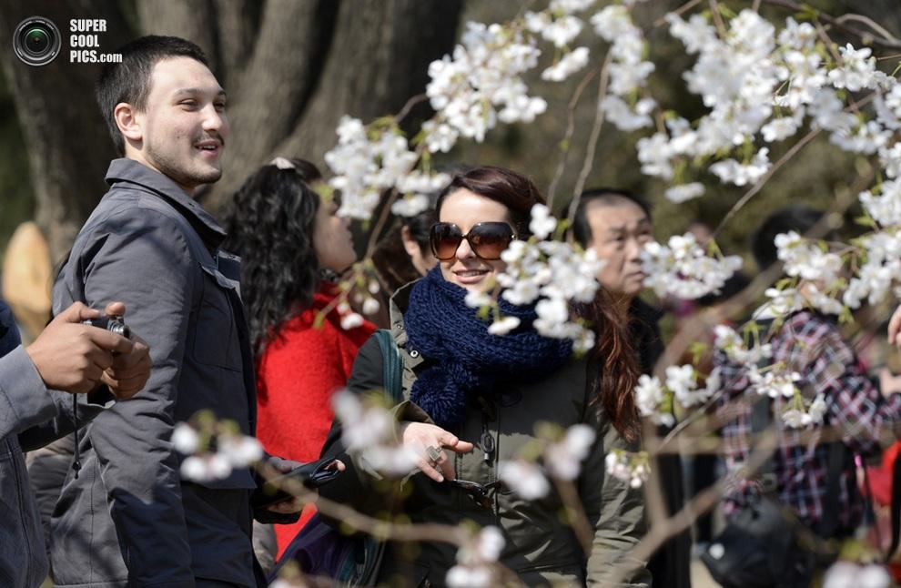 Туристы среди цветущих вишен. (Xinhua/Li Jundong)