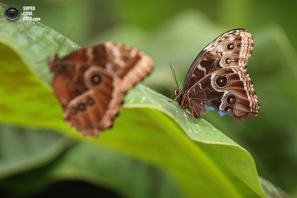 Похоже, с этой бабочкой приключилась беда! (Oli Scarff/Getty Images)
