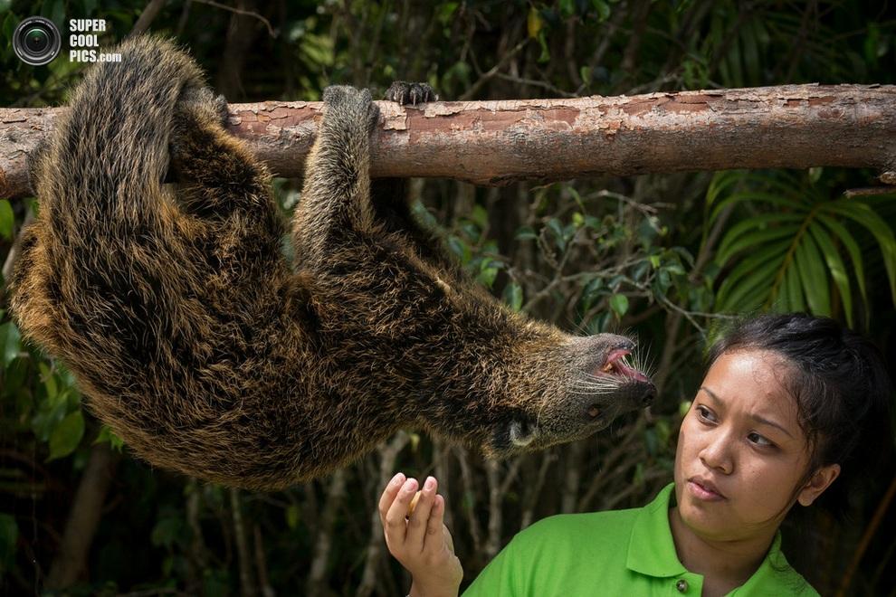 Смотрительница зоопарка с бинтуронгом. (Chris McGrath/Getty Images)