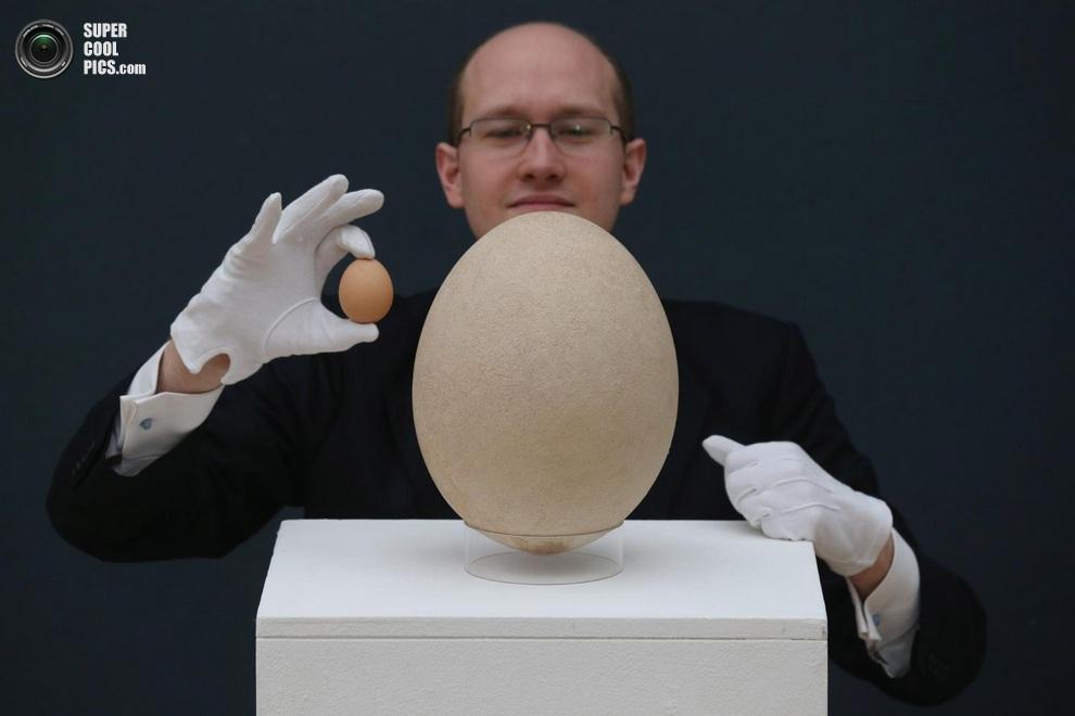 Сравнение яйца слоновой птицы с куриным. (Oli Scarff/Getty Images)