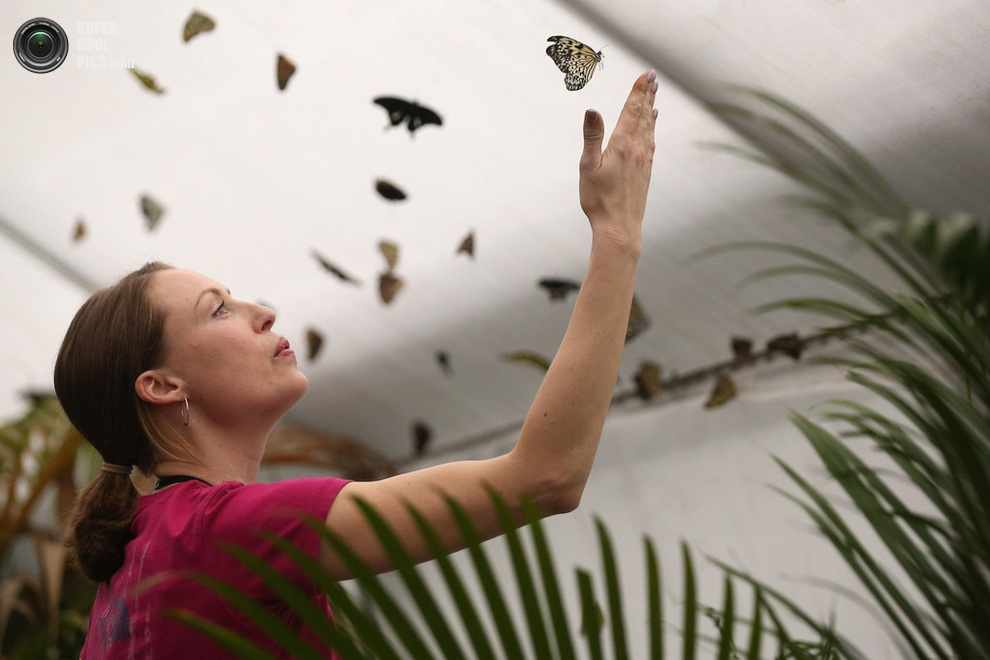 Работница музея «сдувает» мотылька со своей руки. (Oli Scarff/Getty Images)