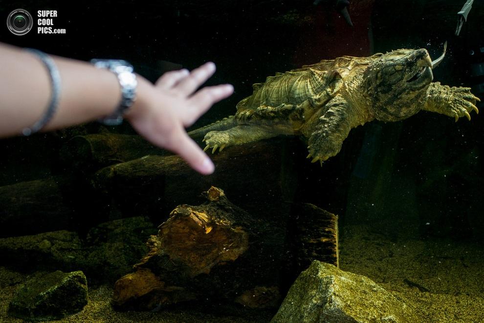 Гид указывает рукой на монструозную грифовую черепаху. (Chris McGrath/Getty Images)