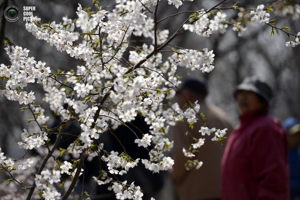 Изящные вишнёвые ветви. (Xinhua/Li Jundong)