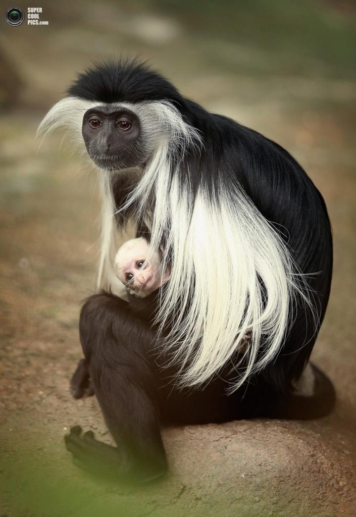 Оливия и ее детёныш крупным планом. (Scott Olson/Getty Images)