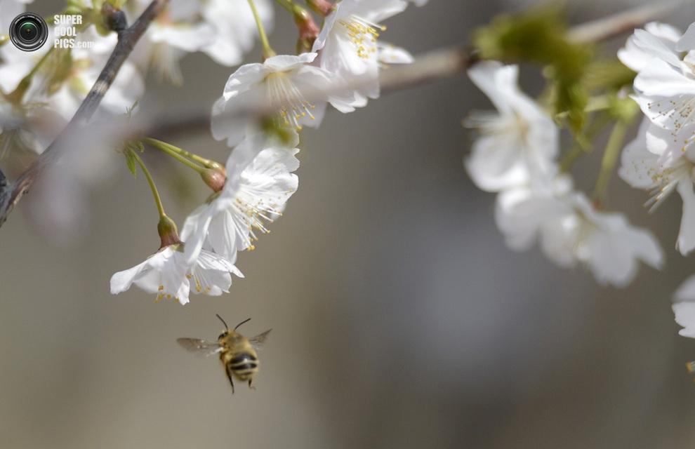 Пчела у цветков в парке Юйюаньтань, Пекин, Китай. (Xinhua/Li Jundong)