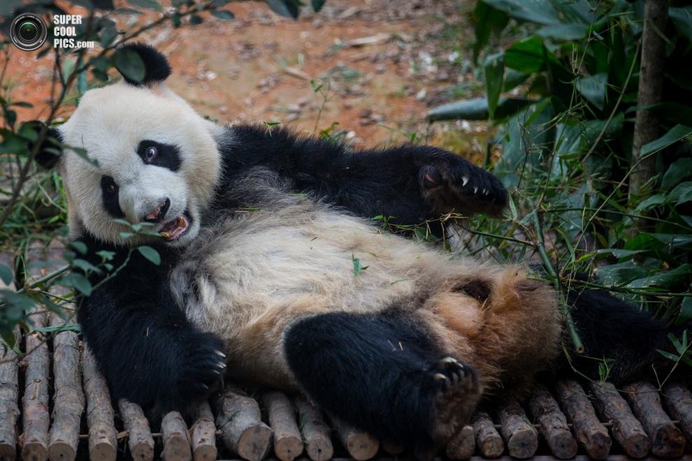 Большая панда по кличке Кай-Кай. (Chris McGrath/Getty Images)