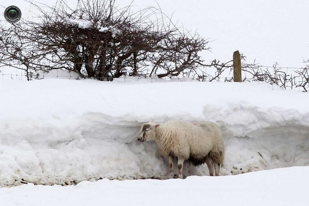 Овца у полутораметровой снежной стены. (PETER MUHLY/AFP/Getty Images)