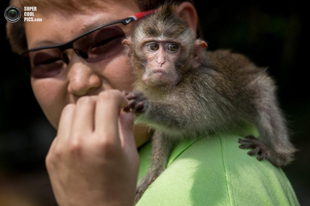 Смотритель кормит умильного макака-крабоеда. (Chris McGrath/Getty Images)