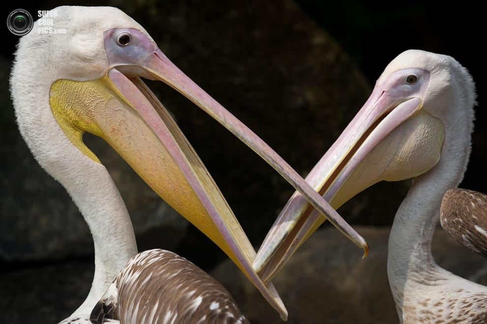 Парочка розовых пеликанов, чешущих друг другу клювы. (Chris McGrath/Getty Images)