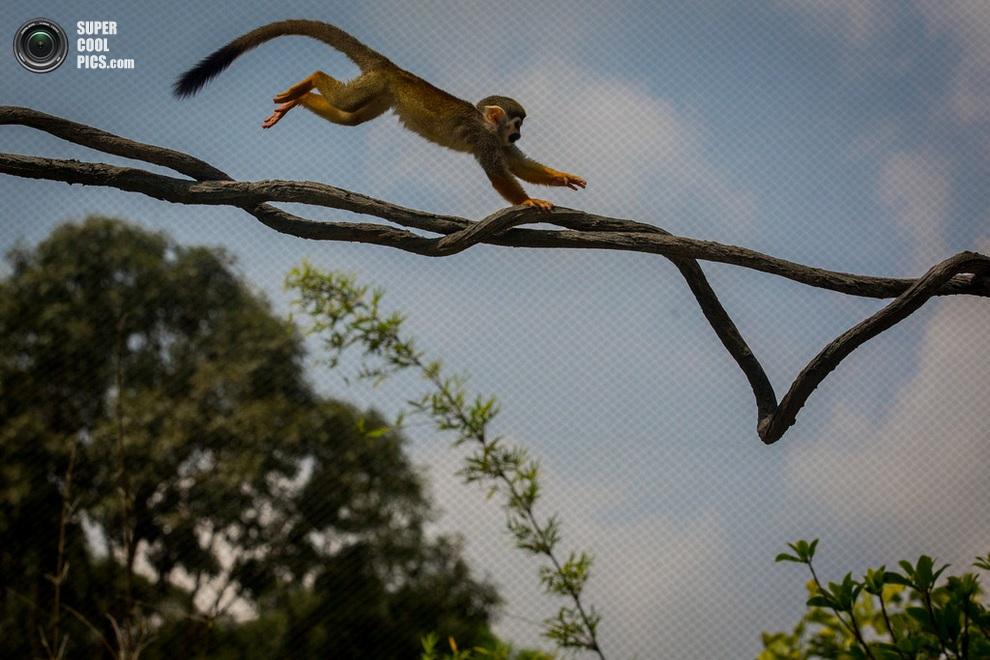 Саймири, или беличья обезьяна, ловко мчит по лозе к своим собратьям. (Chris McGrath/Getty Images)