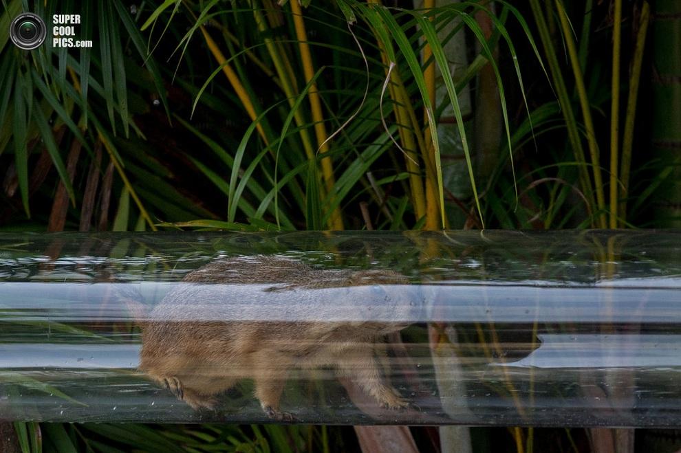 Луговая собачка изучает изнутри прозрачную трубу. (Chris McGrath/Getty Images)