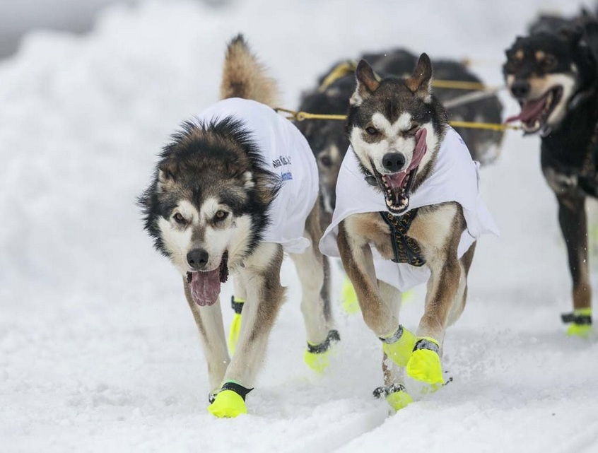 Lead dogs of musher Sass race down 4th Avenue at the ceremonial start to the Iditarod dog sled race in downtown Anchorage, Alaska