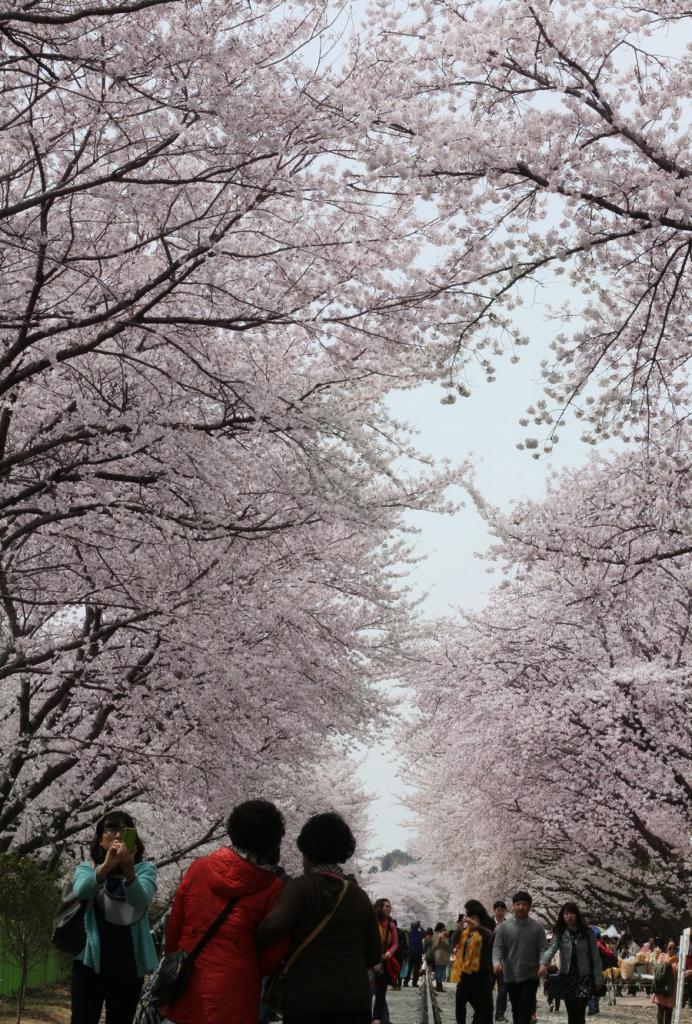 Южная Корея. Чинхэ, Кёнсан-Намдо. 1 апреля. Цветение сакуры. (EPA/ИТАР-ТАСС/YONHAP)