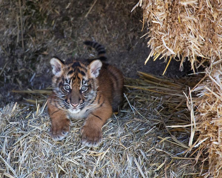 США. Сан-Франциско, Калифорния. 10 апреля. Двухмесячный суматранский тигрёнок в вольере городского зоопарка. (EPA/ИТАР-ТАСС/MARIANNE V. HALE)