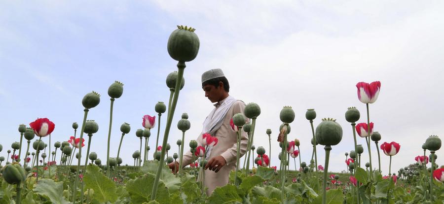 Сбор сырья на маковых полях Афганистана (6 фото)