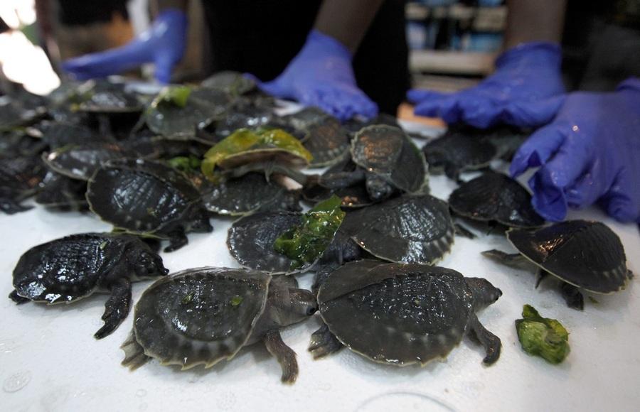 В Джакарте конфискована крупная партия редких двухкоготных черепах (4 фото)