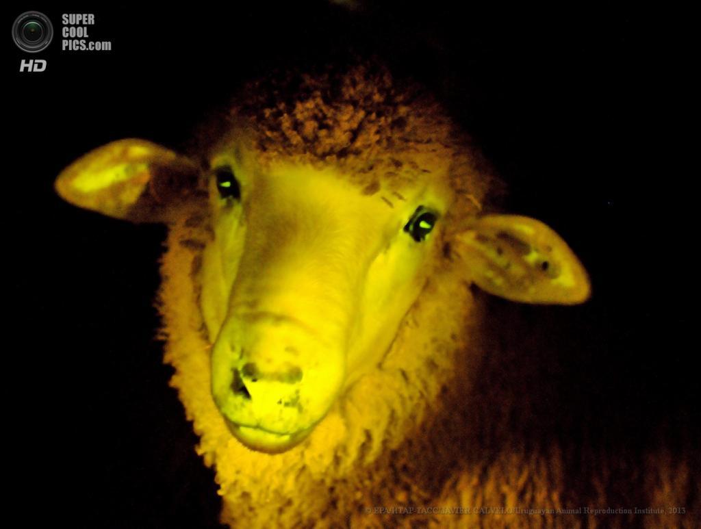 Уругвай. Монтевидео. Без даты. Генетически модифицированный ягнёнок, выращенный в лаборатории Уругвайского института репродукции животных. (EPA/ИТАР-ТАСС/JAVIER CALVELO/Uruguayan Animal Reproduction Institute)