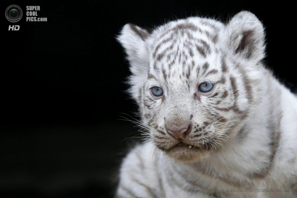 Япония. Миясиро, Сайтама. 25 апреля. Новорожденные белые тигрята в зоопарке Тобу. (EPA/ИТАР-ТАСС/KIYOSHI OTA)