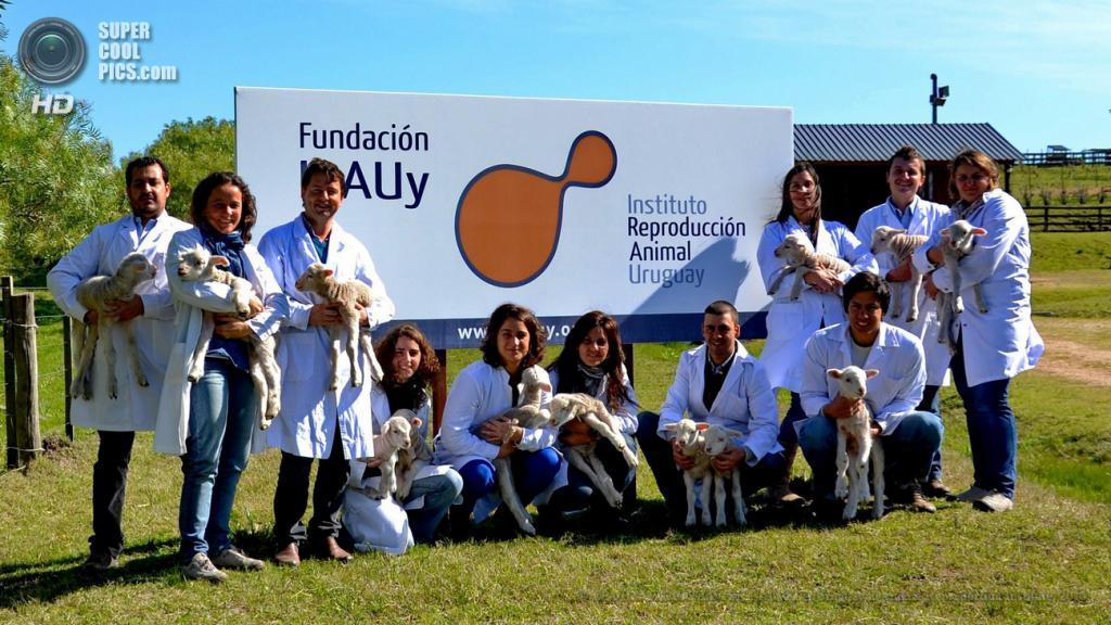 Уругвай. Монтевидео. Без даты. Ученые Уругвайского института репродукции животных с генетически модифицированными овечками. (EPA/ИТАР-ТАСС/JAVIER CALVELO/Uruguayan Animal Reproduction Institute)