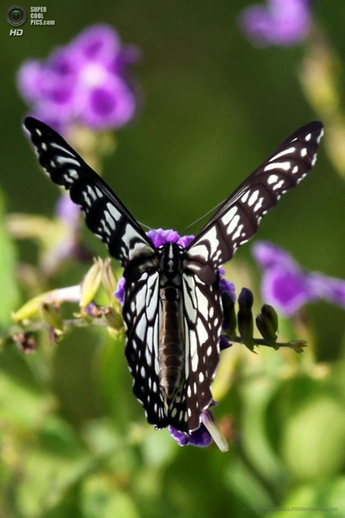 Шри-Ланка. Моратува, Коломбо. 27 апреля. Бабочка Tirumala limniace. (EPA/ИТАР-ТАСС/M.A.PUSHPA KUMARA)