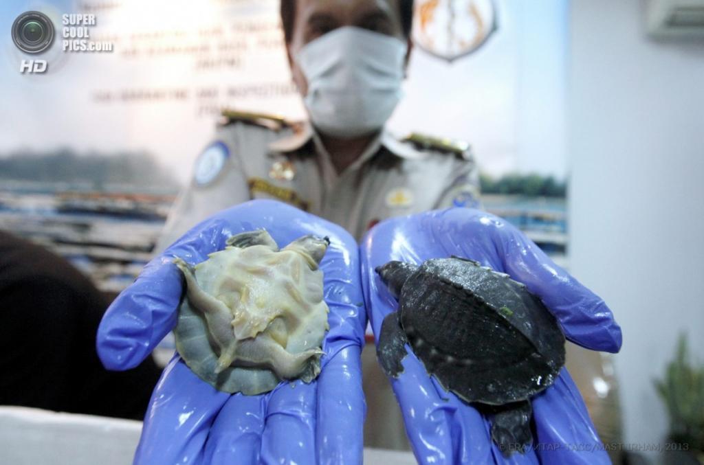 Индонезия. Джакарта. 1 апреля. Конфискованные двухкоготные черепахи. (EPA/ИТАР-ТАСС/MAST IRHAM)