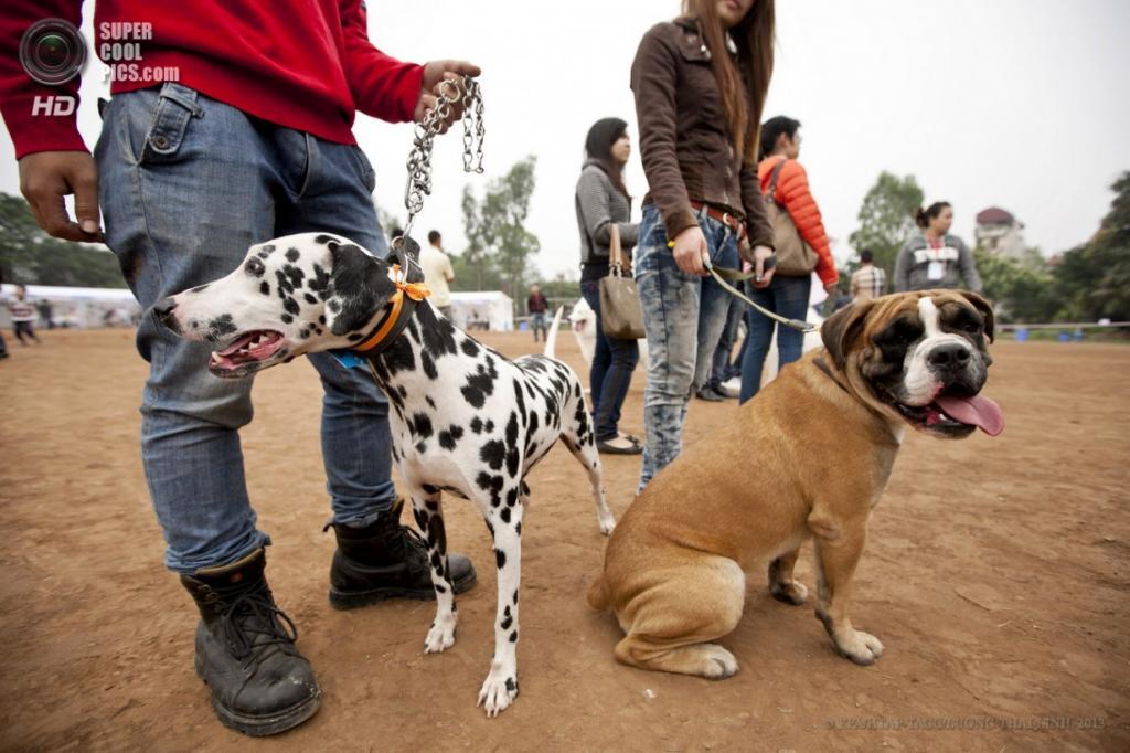 Вьетнам. Ханой. 14 апреля. Выставка собак на стадионе «Динь Конг». (EPA/ИТАР-ТАСС/LUONG THAI LINH)
