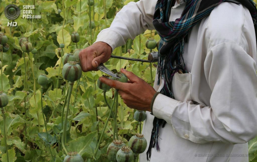 Афганистан. Кхогьяни, Нангархар. 26 апреля. Сбор сырья на маковых полях для производства героина. (EPA/ИТАР-ТАСС/S. SABAWOON)
