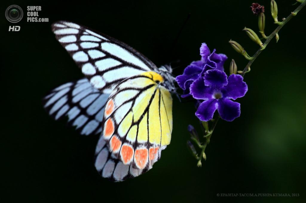 Шри-Ланка. Моратува, Коломбо. 27 апреля. Бабочка Delias eucharis. (EPA/ИТАР-ТАСС/M.A.PUSHPA KUMARA)