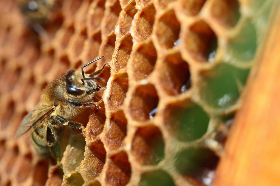 Пчёлы-трудоголики