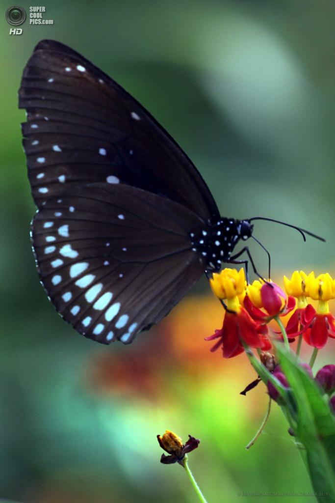 Шри-Ланка. Моратува, Коломбо. 27 апреля. Бабочка Euploea core. (EPA/ИТАР-ТАСС/M.A.PUSHPA KUMARA)