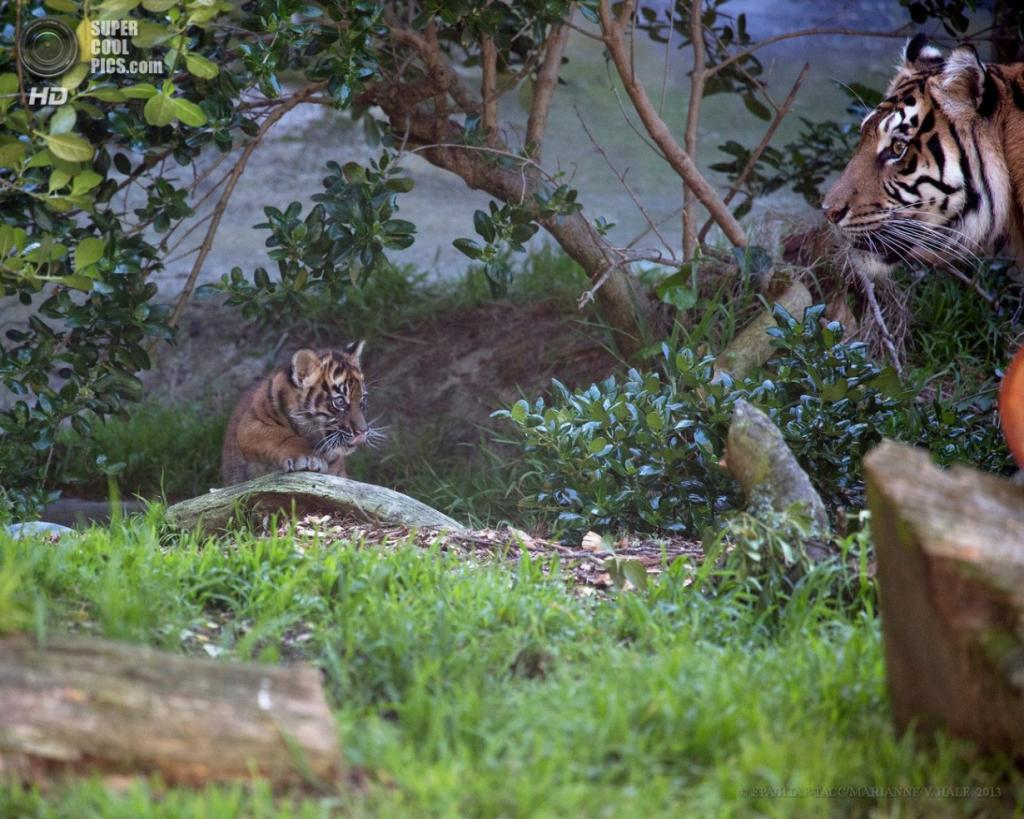 США. Сан-Франциско, Калифорния. 10 апреля. Двухмесячный суматранский тигрёнок с мамой-тигрицей по кличке Леанна в вольере городского зоопарка. (EPA/ИТАР-ТАСС/MARIANNE V. HALE)