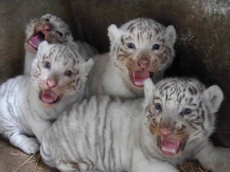Новорожденные белый тигрята в зоопарке Тобу