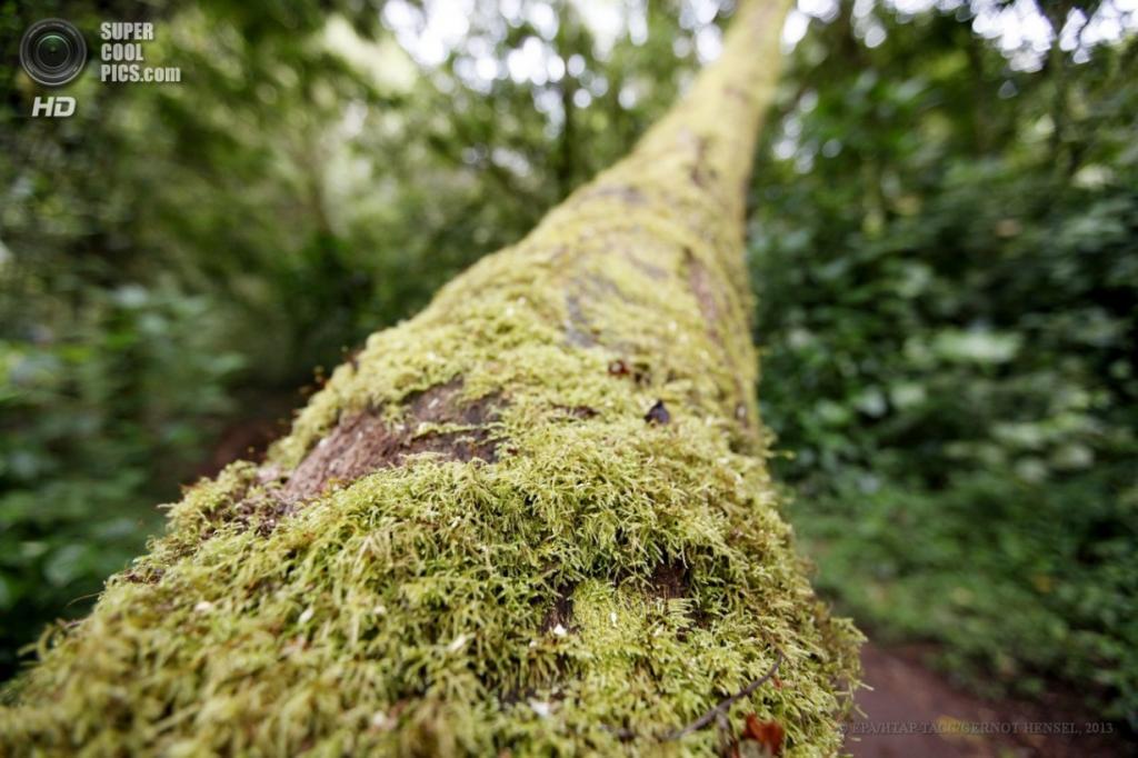 Танзания. Килиманджаро. 8 февраля. Дерево, покрытое мхом на западном склоне. (EPA/ИТАР-ТАСС/GERNOT HENSEL)