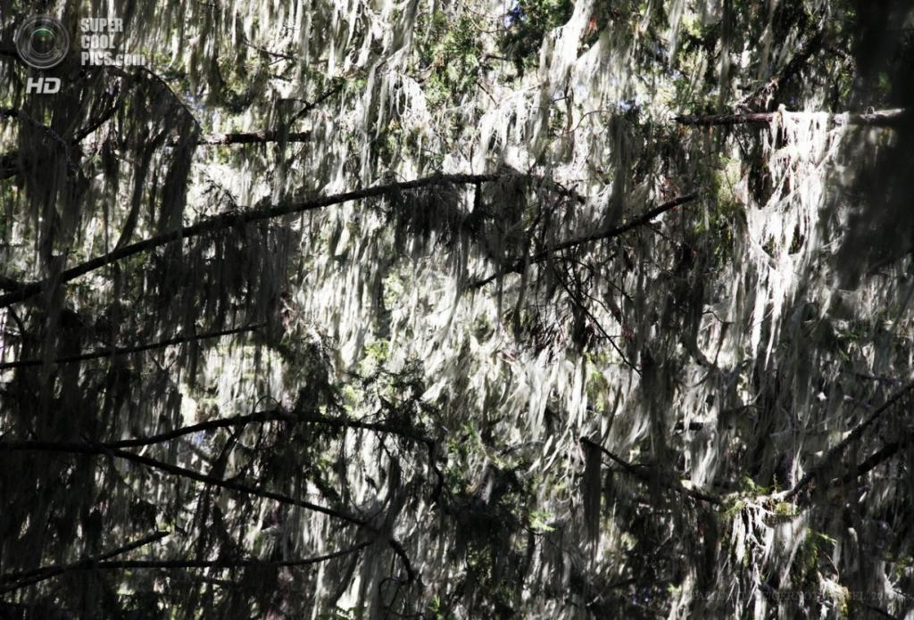 Танзания. Килиманджаро. 9 февраля. Деревья, покрытые уснеей, в горном лесу на западном склоне. (EPA/ИТАР-ТАСС/GERNOT HENSEL)