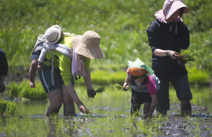 Культивация риса в Японии (13 фото)