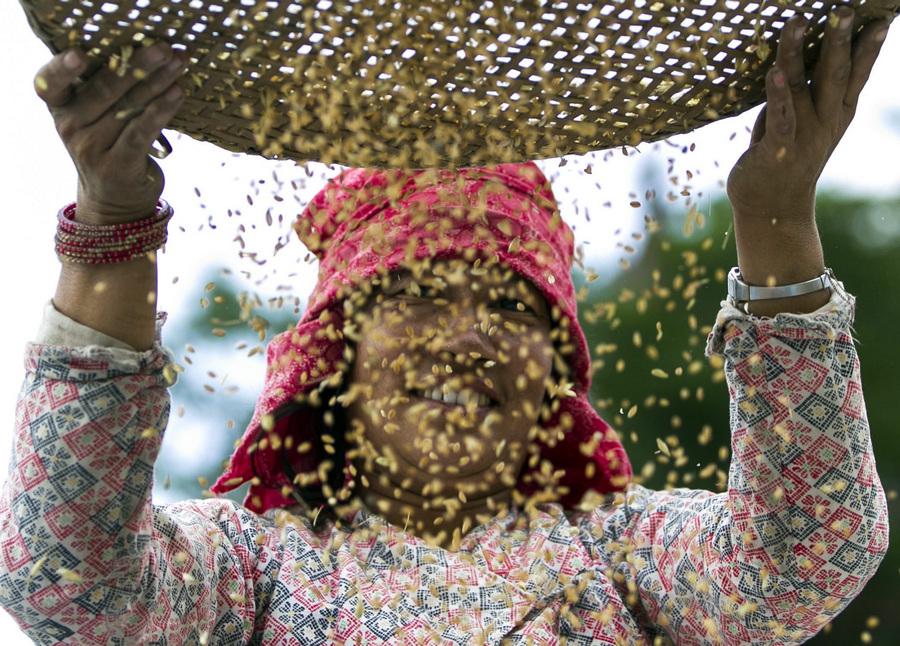 Сезон сбора пшеницы в Непале (4 фото)