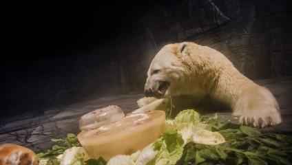 Первый белый медведь, родившийся в тропиках, получил новый дом в Сингапурском зоопарке (8 фото + видео)