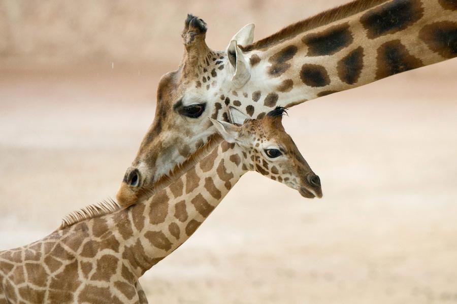 Новорожденный жираф в зоопарке Ганновера