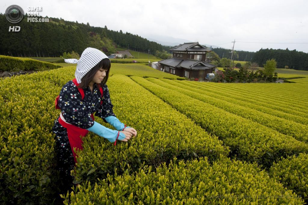 Япония. Фудзиномия, Сидзуока. 1 мая. Работа на чайных плантациях. (EPA/ИТАР-ТАСС/EVERETT KENNEDY BROWN)