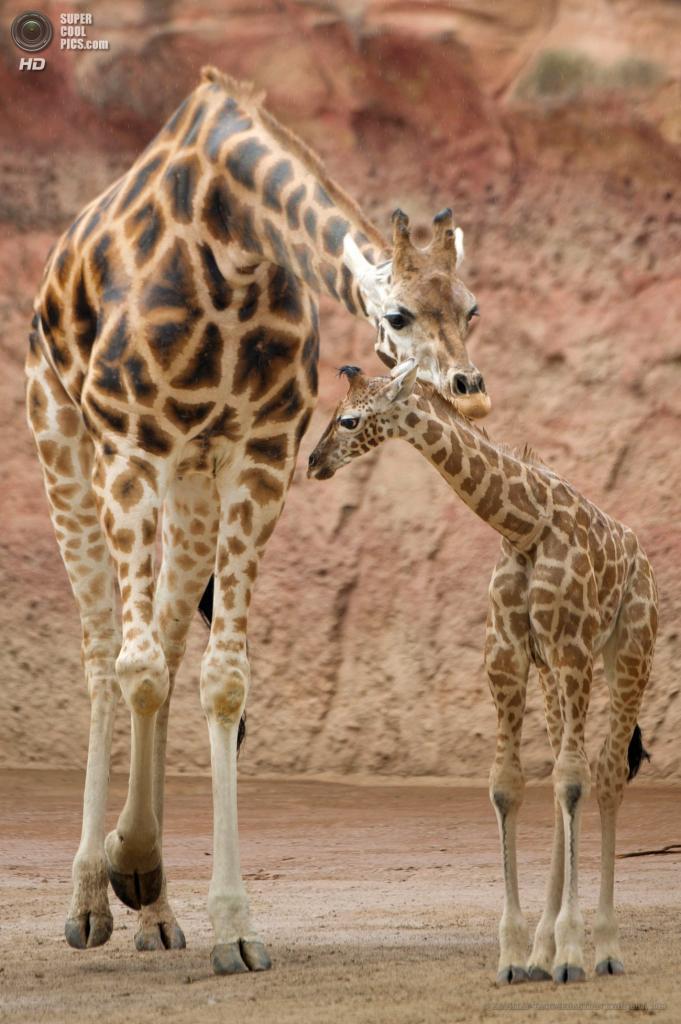 Германия. Ганновер. 7 мая. Детеныш жирафа со своей матерью в Ганноверском зоопарке. (EPA/ИТАР-ТАСС/SEBASTIAN KAHNERT)