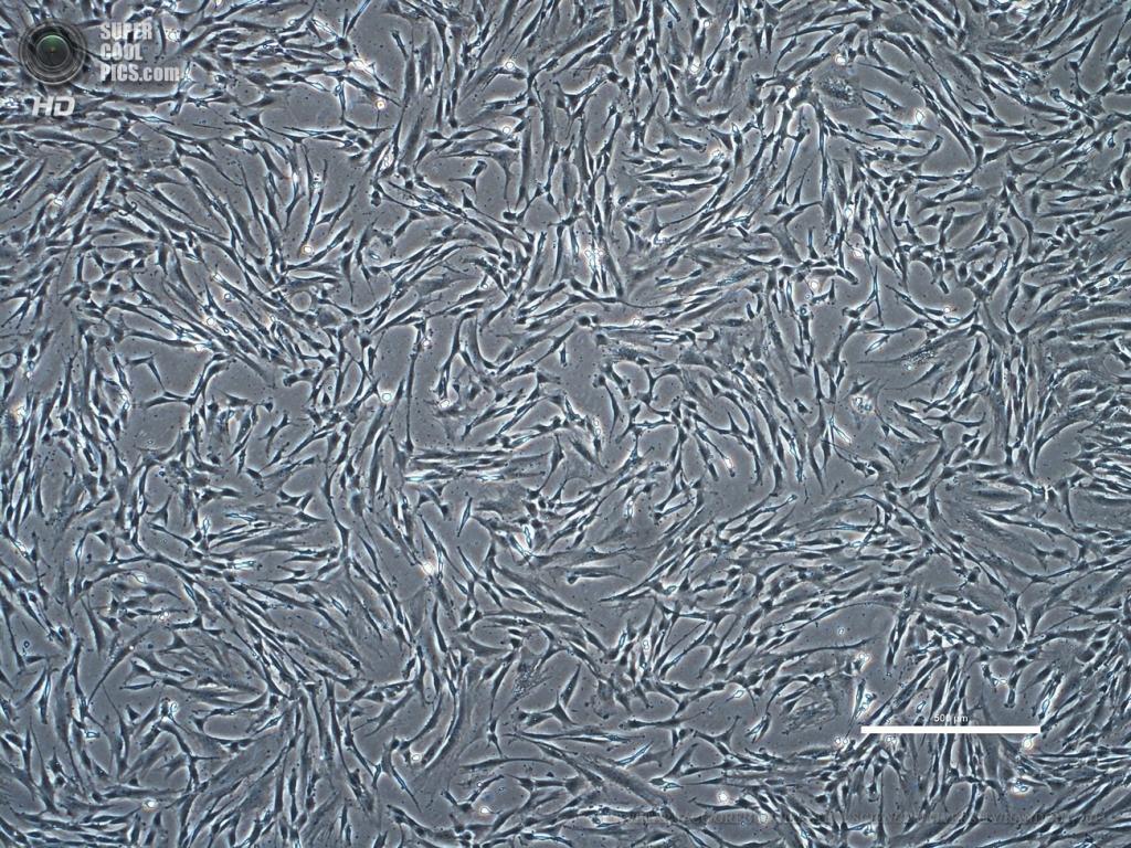 США. Портленд, Орегон. 16 мая. Клетки кожи человека в лабораторном сосуде. (EPA/ИТАР-ТАСС/OREGON HEALTH & SCIENCE UNIVERSITY/HANDOUT)