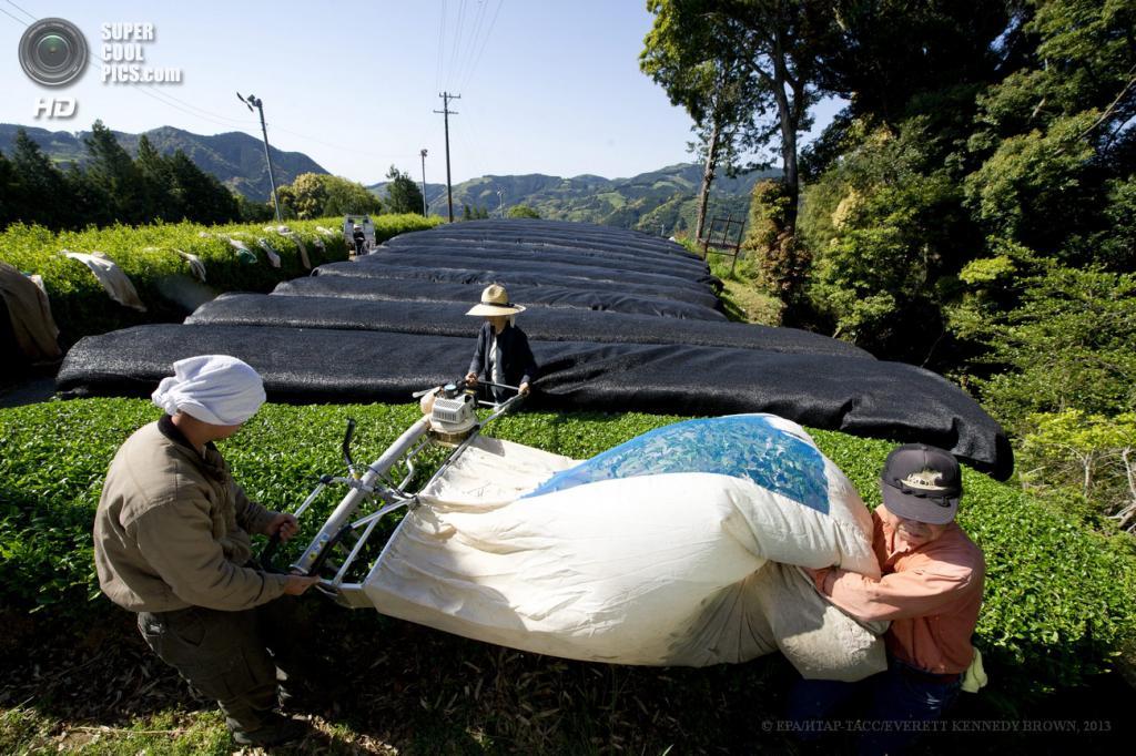 Япония. Фудзиэда, Сидзуока. 3 мая. Работа на чайных плантациях. (EPA/ИТАР-ТАСС/EVERETT KENNEDY BROWN)