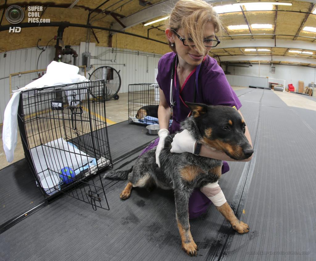 США. Мур, Оклахома. 22 мая. Ветеринар осматривает животное, пострадавшее в результате торнадо. (EPA/ИТАР-ТАСС/ED ZURGA)