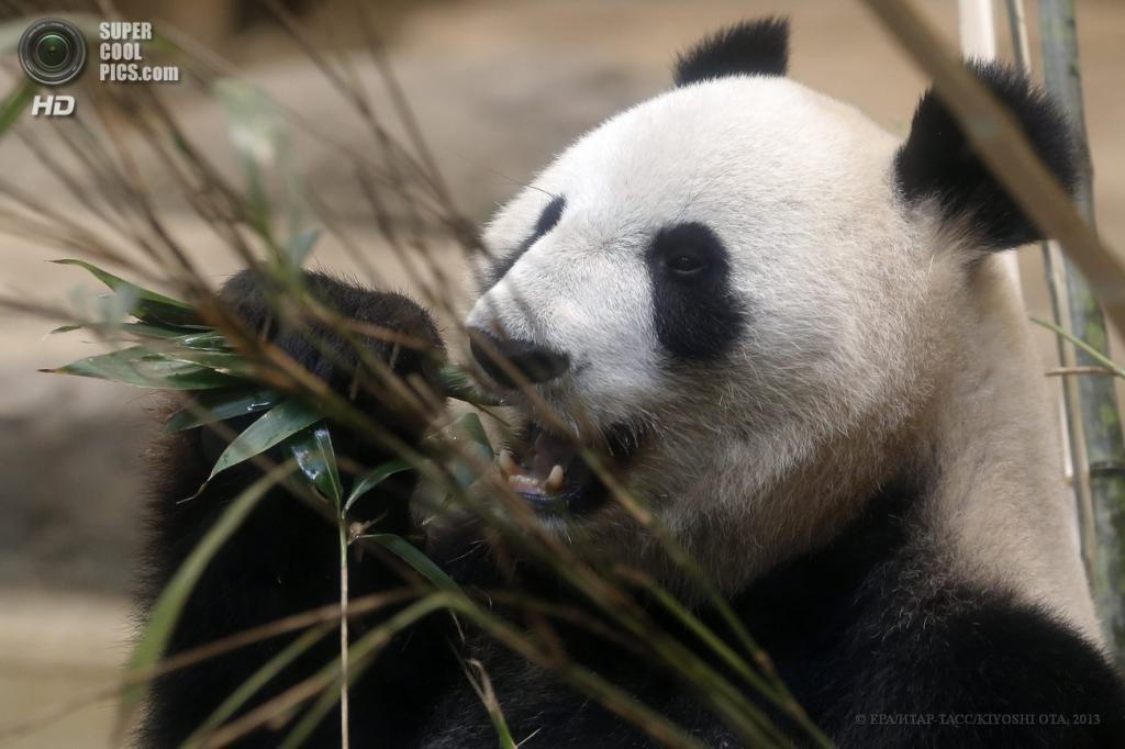 Япония. Токио. 28 мая. Беременная самка Син Син в зоопарке «Уэно». (EPA/ИТАР-ТАСС/KIYOSHI OTA)