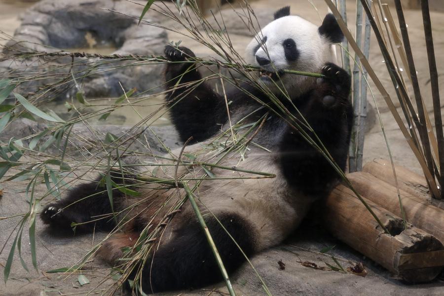 Токийский зоопарк сообщил о возможной беременности большой панды (7 фото)