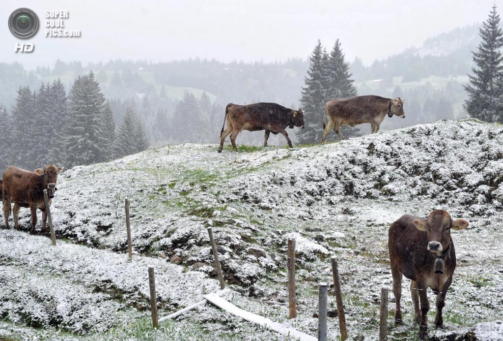Германия. Бад-Хинделанг, Бавария. 24 мая. Снегопады за неделю до календарного лета. (EPA/ИТАР-ТАСС/STEFAN PUCHNER)